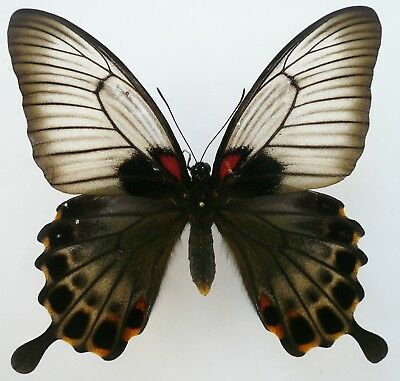 Papilio Lowi Female From Palawan Isl
