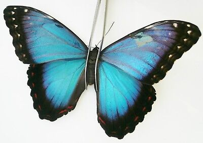 Morpho Helenor Ssp. From Belize