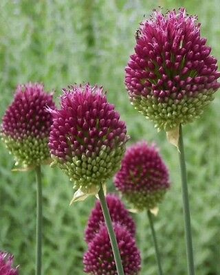 Allium 6 Bulbes