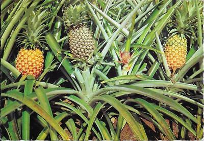 Pineapples, Queensland, Australia- Posted Postcard