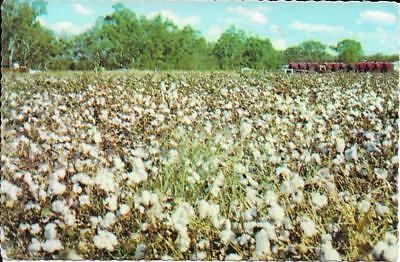 Cotton ready for Harvest - Australia - Posted Postcard