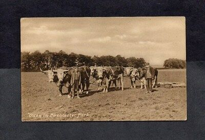Cirencester.oxen In Cirencester Park.early B&w Pc.'cirencester' Datestamp.