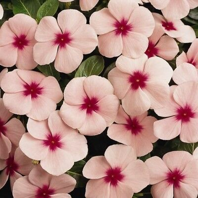 Vinca Pacifica Apricot Seed Annual Large Flower Adaptable Reseeds Low Maintenace