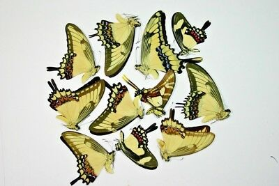 10 Mixed Papilio's in A1 condition