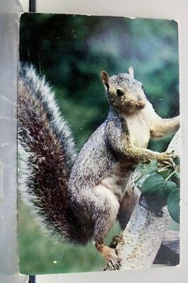 Animal Grey Squirrel Little Fellow Postcard Old Vintage Card View Standard Post
