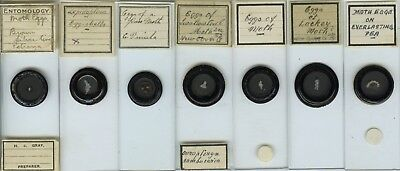 7 Moth Egg Microscope Slides by Various Makers