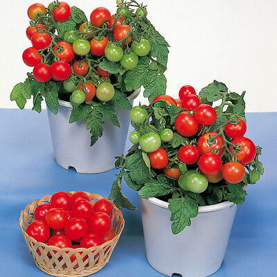 Vegetable - Tomato - Red Robin - 20 Seeds