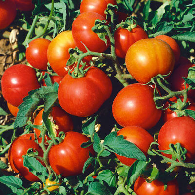 Vegetable - Tomato - Sub Arctic Plenty - 60 Seeds