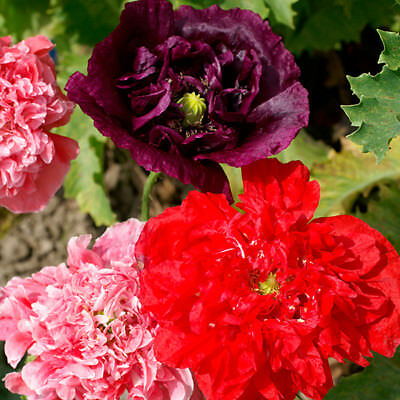 Papaver - Poppy - Double Mixed - 500 Seeds
