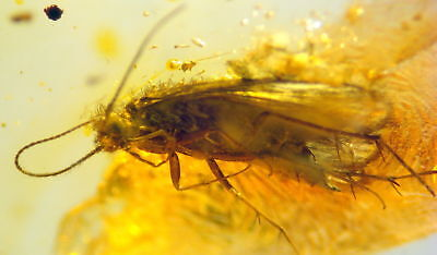 Huge Fossil Insect-Trichoptera- In Baltic Amber 45-55 Millions Years Old(7940 )