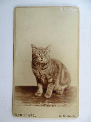 Antique CDV Photograph Chicago IL Cat Kitten Victorian 1880 Pet Vintage Original