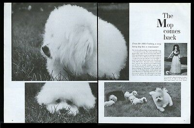 1970 Bichon Frise dog & puppies 3 photo vintage print article
