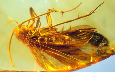 Huge Fossil Insect-Trichoptera- In Baltic Amber 45-55 Millions Years Old(8034 )