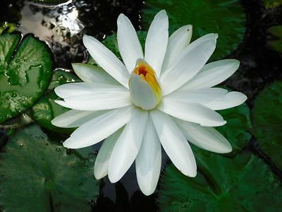 Nymphaea pubescens WHITE WATER LILY Seeds