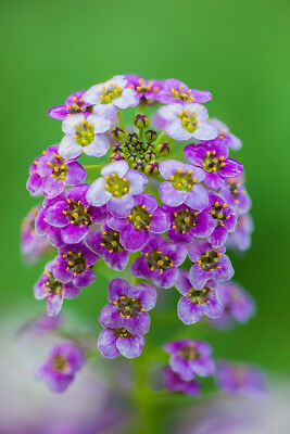 Alyssum Pixie Violet Seed Annual Dwarf Compact Groundcover Long Flowering Reseed