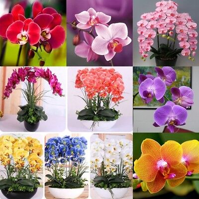 100Pcs/Pack Seed Orchid Phalaenopsis Seeds Bonsai Balcony Flower Mixed Colors