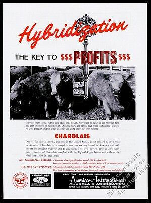 1962 Charolais cattle 4 cow photo AICA vintage print ad