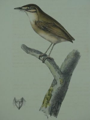 Vogel Barthaare Zoological Illustrations William Swainson kol. Lithographie 1900
