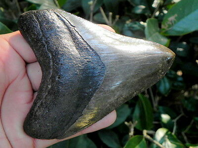 4  3/8 Inch St. Mary Megalodon Fossil Shark Tooth Teeth. Amazing Tooth