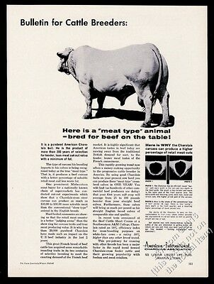 1963 Charolais cow bull photo AICA vintage print ad
