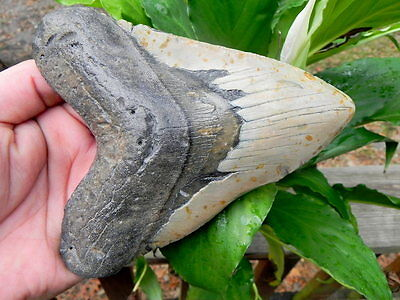 6  3/16+ Inch  Megalodon Miocene Fossil Shark Tooth Teeth. Massive Tooth