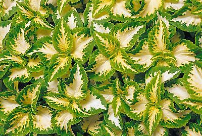 Flower - Coleus - Wizard Jade - 30 Seeds