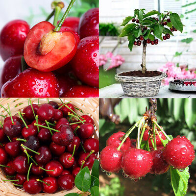 20Pcs Red Cherry Seeds Organic Seeds Fruit Bonsai Tree Home Garden Yard Decor