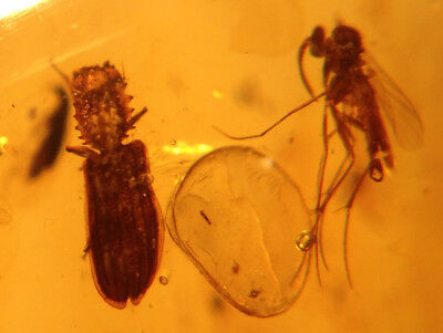 A101 BU608 Uber Rare Colydiidae Beetle with Head Spurs in Burmese Amber Burmite