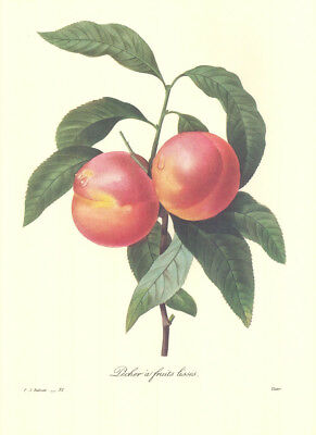 """10"""" by 13"""" Redoute Botanical Print #095 Peaches"""