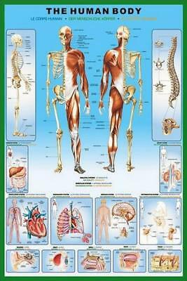 The Human Body - Maxi Poster 61cm x 91.5cm new and sealed