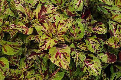 Flower - Coleus - Wizard Mosaic - 30 Seeds