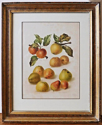 Antique Chromolithograph of Pears by Edith E. Bull for the Whoolhope Club-Framed