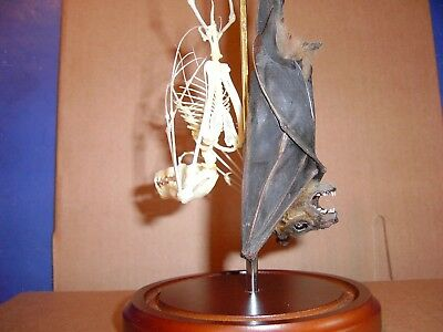 Taxidermy Bats Hanging Cynopterus sphinx  Adult Male & Female Skeleton Display