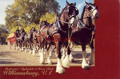 Continental-size BUDWEISER CLYDESDALE 8-HORSE HITCH, Williamsburg, VA.