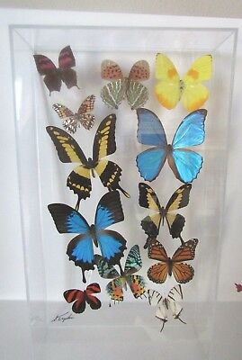 Stunning  framed Butterflies Mounted In An Acrylic Display Signed , excellent co
