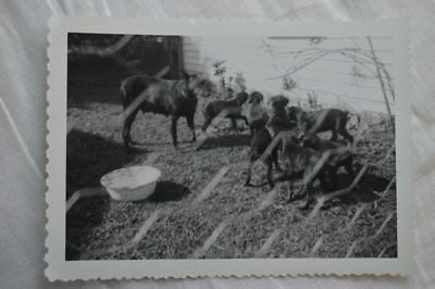 Unusual Vintage Photo Chicken Wire Screen View Momma Dog & Puppies 842