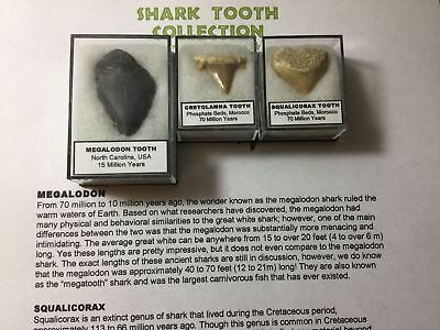 Shark Tooth Fossil Collection - Megalodon, Cretolamna, Squalicorax