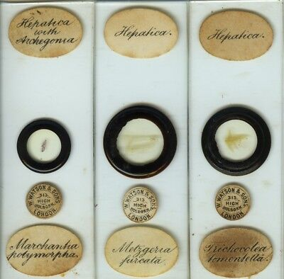 3 Liverwort Microscope Slides by E. Wheeler, sold by Watson