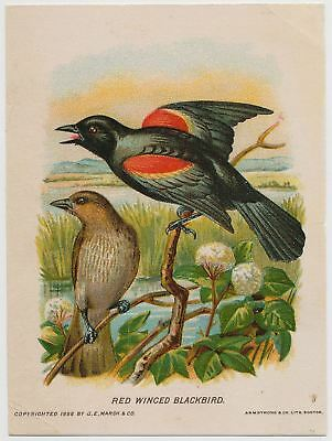 Red Winged Blackbird - Goodwill Soap Victorian Trade Card 1888
