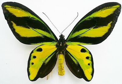 ORNITHOPTERA TITHONUS SSP. FROM SORONG A- repaired
