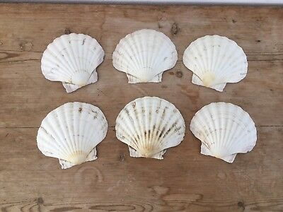Vintage Baking Real Scallop Shells x 6