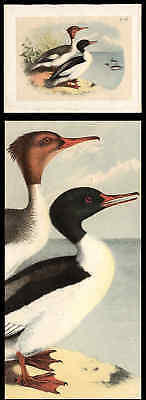 Goosander Plate From Studers Birds Of North America