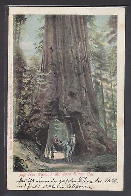 A485 AK. Big Tree Wawona Mariposa Grove. Cal. 1923