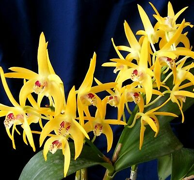OoN Dendrobium Orchid SJS 3479 Victorian Humbug x Midas Touch Hadleigh  NEW 2017