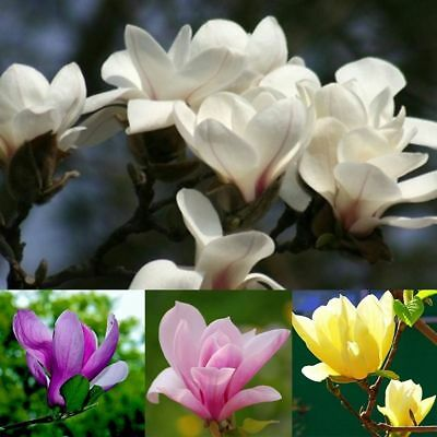20Pcs Saucer Magnolia Fragrant Flower Tree Seeds Mixed Color Garden Plant A
