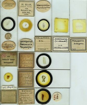 9 Liverwort Microscope Slides by British Makers