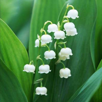 Lily of the Valley Flower Seeds Flower Plants Decor Home Garden Pot