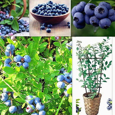 Southern Blueberry Bulk30 Seeds * Evergreen Shrub * High Tolerance To Heat