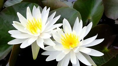 White Water Lily Seed Native Aquatic Perennial Lily Pads Crenellated Leaves.