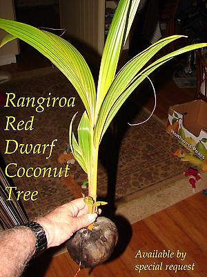~RED TAHITI RANGIROA~ RARE DWARF COCONUT TREE 12-36+inch Ready to PLANT!